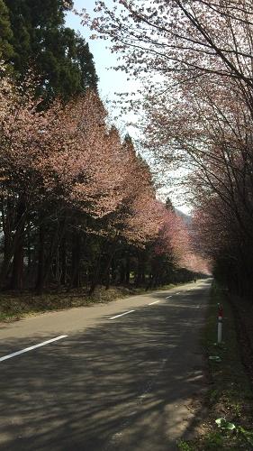 桜並木ウオーク4-29 (2)_500