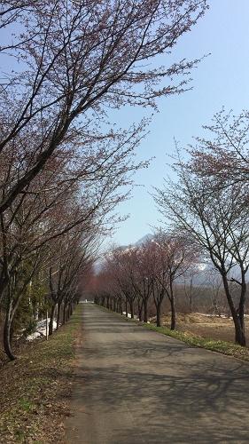 桜並木ウオーク4-29 (6)_500