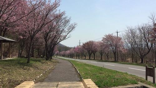 桜並木ウオーク4-29 (11)_500