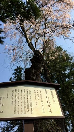 高照桜 (3)_500