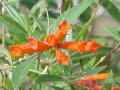Bouvardia_ternifolia0[1]