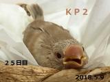 KP2 ぴっかちゃん 25日目