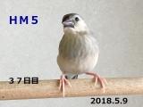 HM5 はしゅちゃん 37日目