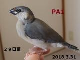 PA1~29日目