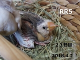 RR1~21日目