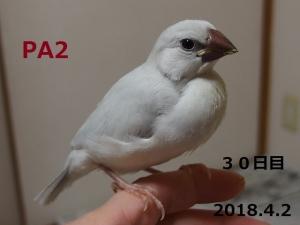 PA2 30日目