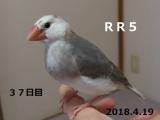 RR5ろっか~
