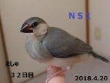 NS1ましゅちゃん32日目