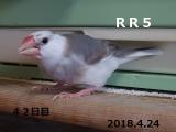 RR5ろっかちゃん42日目