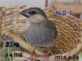 NS1ましゅちゃん34日目