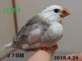 HM4はっかちゃん27日目