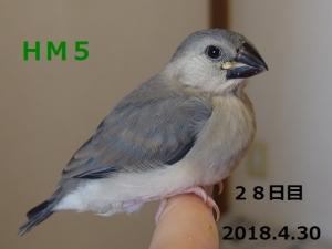 HM5はしゅちゃん28日目