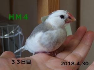 HM4はっかちゃん33日目