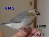 HM5 はしゅちゃん 35日目