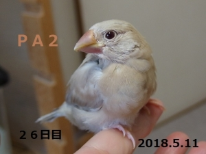 ぴっか26日目