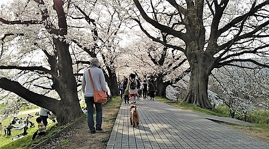桜のトンネル@背割り