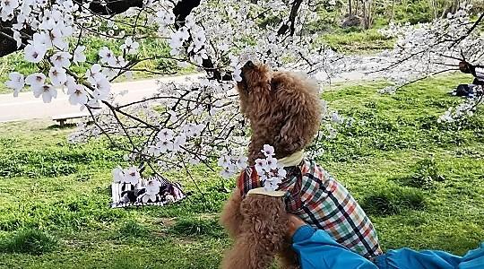 桜を匂うマッキー