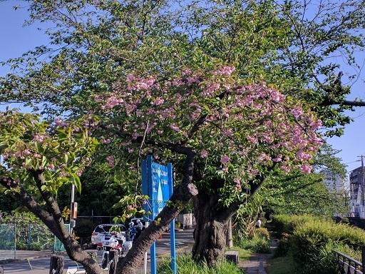 419桜の下