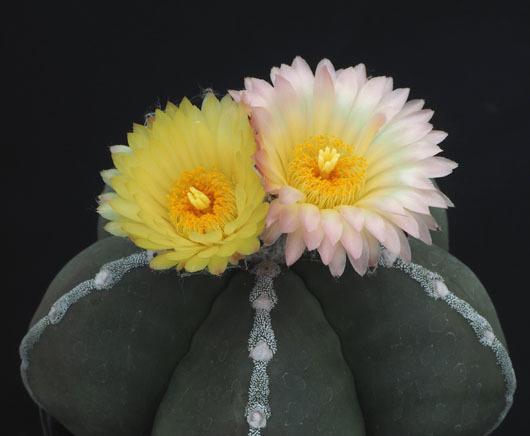 ヘキランの花色①