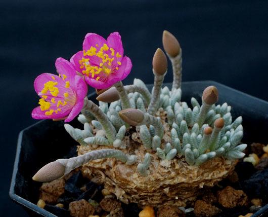 アボニア開花