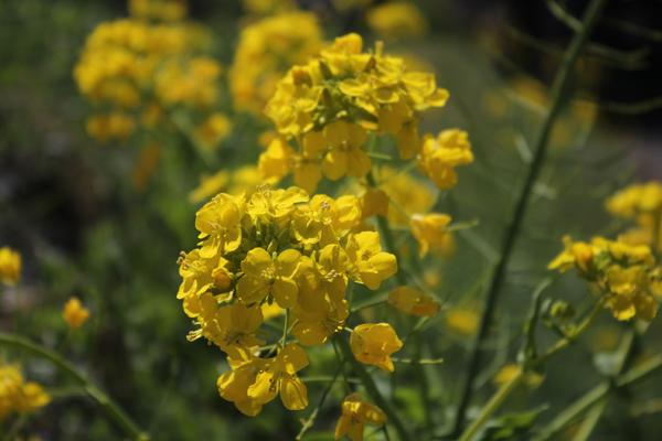 09菜の花