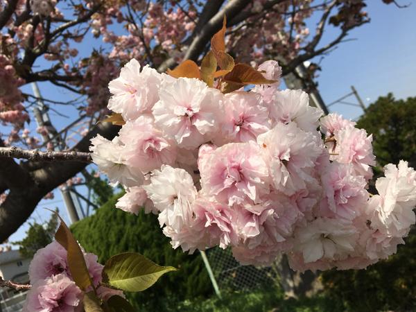 05八重桜01
