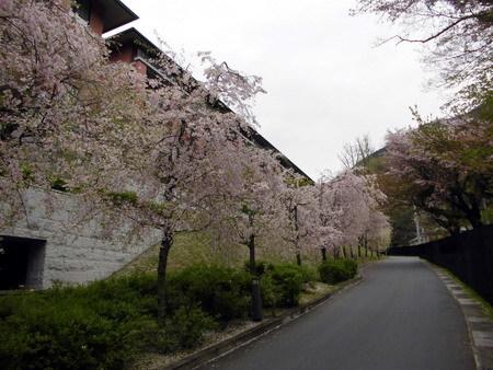エクシブ京都の桜