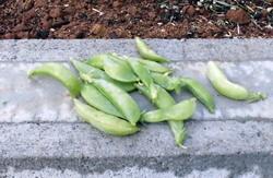菜園初収穫