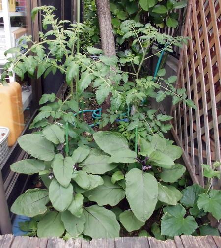 0528自宅菜園