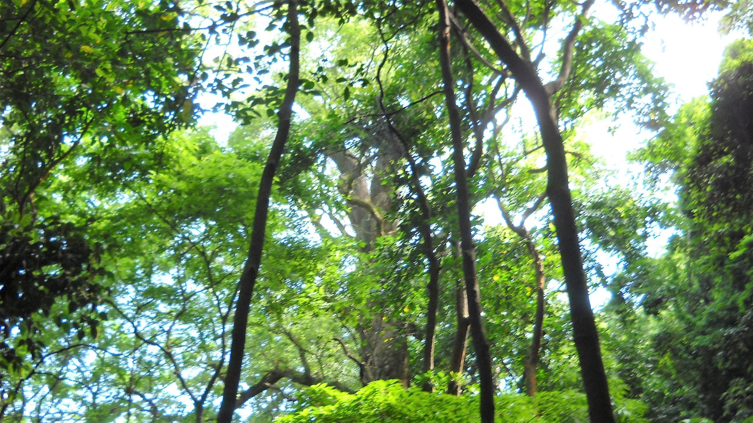 城山の大木