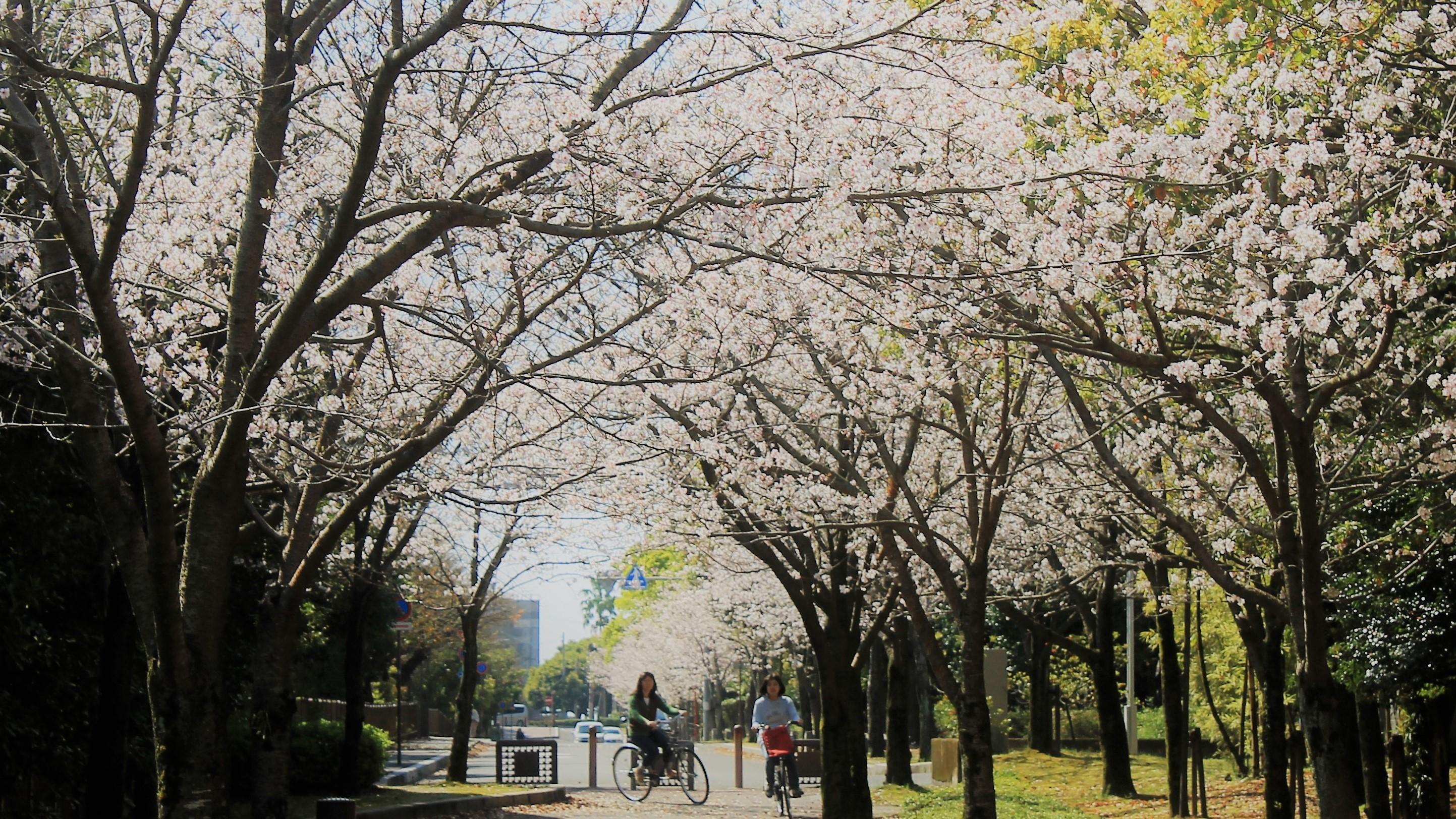 桜並木にて