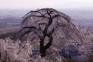 地蔵禅院の桜 その2