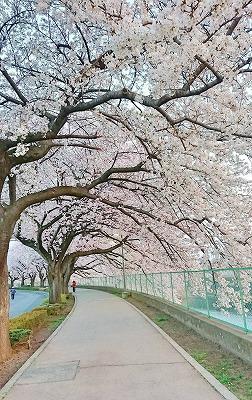 2018桜 (7)