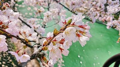2018桜 (2)