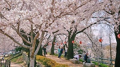 2018桜 (4)