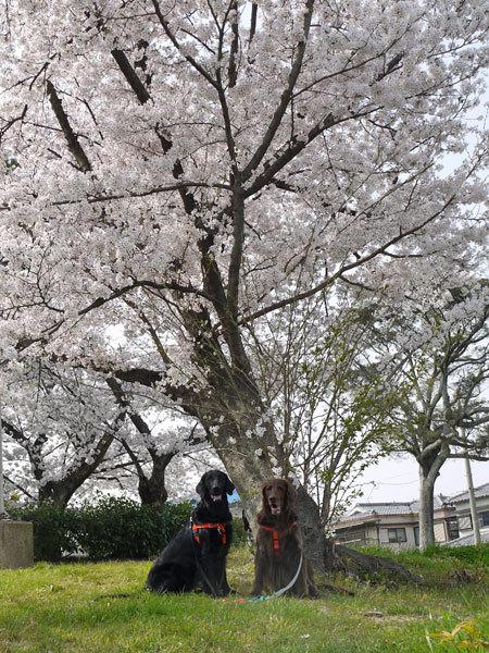 20180329桜3