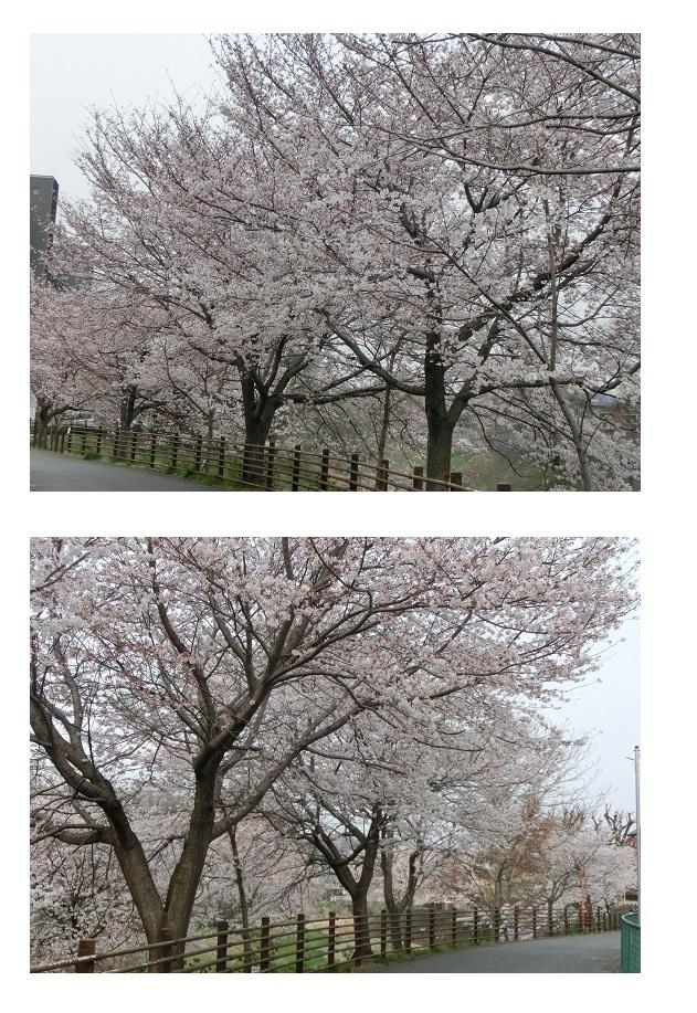 CIMG7335 境川桜 家近