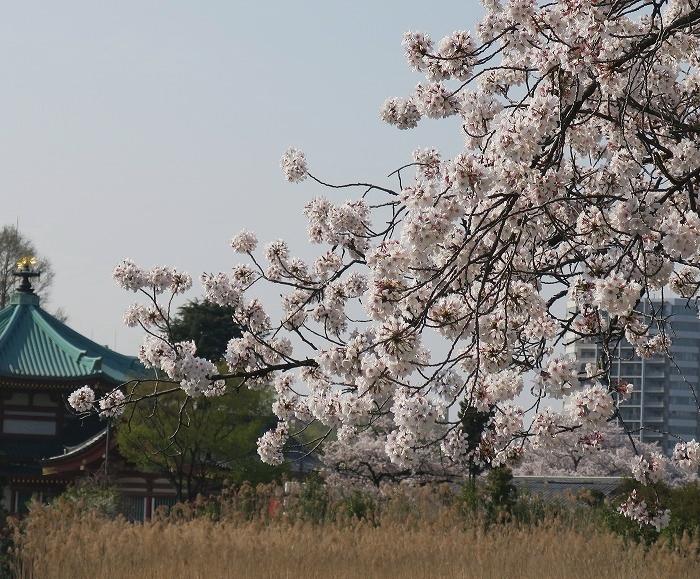 sinobazu3.jpg