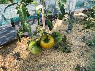 tomato_20180603194625b86.jpg