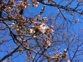 s-桜咲く富山も