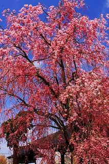 s-、4・5日聞名寺の桜