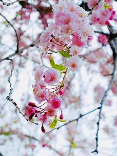 s-アップ舟川べりの桜