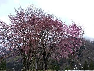 s-山桜・利賀の桜。4・15