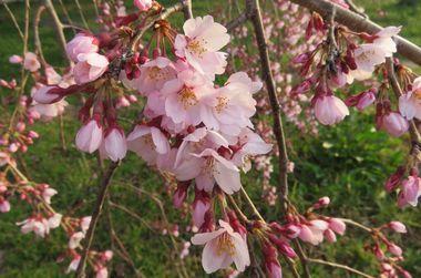 IMG_8390しだれ桜