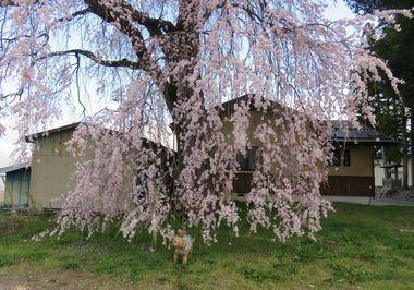 IMG_8496しだれ桜