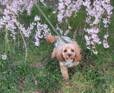 IMG_8503しだれ桜