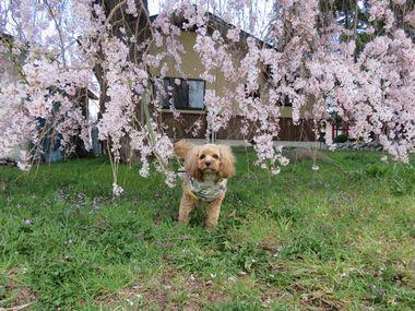 IMG_8498しだれ桜