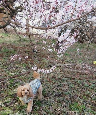 IMG_8486桃の花