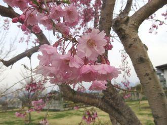 IMG_8736しだれ桜