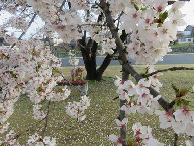 IMG_8771桜めぐり
